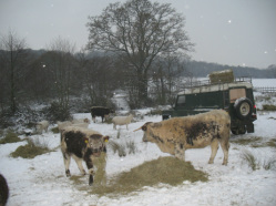 Feeding the cattle in the winter on a cold morning